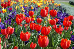 Red Tulips. In the field Stock Image