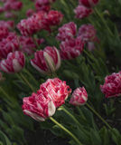 Red tulips. On the field Royalty Free Stock Photography