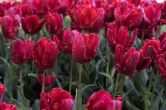 Red tulips. On the field Stock Photos