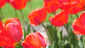 Red Tulips On The Field. Beautiful red tulips on the field stock video