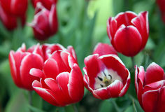 Red Tulips field Royalty Free Stock Images