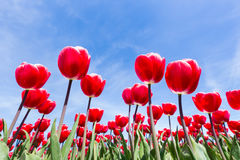 Red tulips field bottom view with blue sky Stock Photos