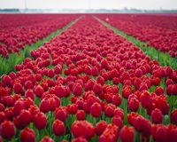 Red tulips in field royalty free stock images