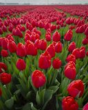 Red tulips in field. close up of flowers 5 stock photos