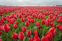 Red tulips in field. close up of flowers 11 royalty free stock photo