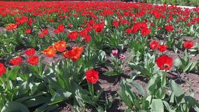 Red tulips. Red tulips field clouse up. Many flowers stock video