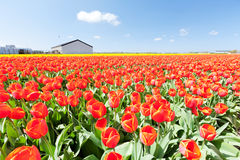 Red tulips field and a farm in Holland Royalty Free Stock Images