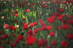 Red tulips field. Red tulips filed in the winter season Stock Image