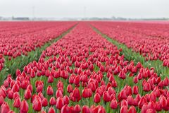 Red tulips in field of flowers royalty free stock photos