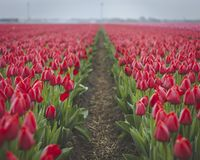 Red tulips in field with footpath 3 stock images