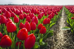 Red tulips in field with footpath royalty free stock photography