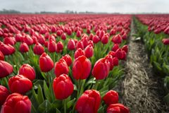 Red tulips in field with footpath 2 stock image