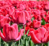 Red  tulips field. Red tulips in the garden Stock Photography