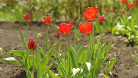 Flower of the tulip in the spring. Red tulips field, green grass lawn, tulips flowers buds, heads. Tulips blooming field, grassland, flowerbed spring time stock video footage