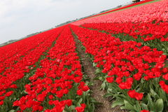 Red tulips field Stock Photography