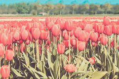 Red tulips field in Holland Stock Photo