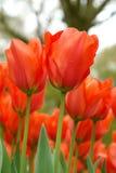 Red tulips field in Keukenhof. Netherlands Royalty Free Stock Photo
