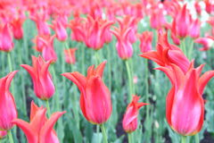 Red tulips field. In Kremlin area Royalty Free Stock Photo