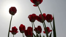 Red tulips in field - medium shot. The red tulips in field - medium shot stock footage