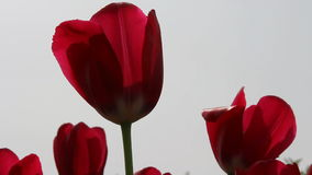 Red tulips in field - medium shot. The red tulips in field - medium shot stock video