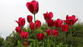 Red tulips in field - medium shot. The red tulips in field  medium shot stock video footage