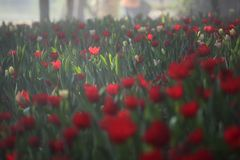 Red tulips field. Tulips field and mist in the winter season Royalty Free Stock Photos