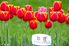 Red tulips in field. Red tulips with a flying dragon sign in a field in Hangzhou, China royalty free stock photos