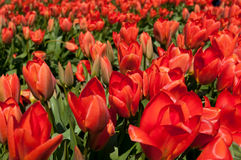 Red tulips on the field Royalty Free Stock Images
