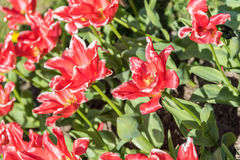 Red Tulips Field In Spring Royalty Free Stock Photo