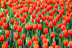 Red tulips field in spring Royalty Free Stock Photography