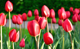 Red tulips field Royalty Free Stock Photos