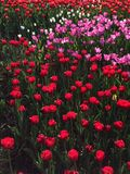 Red tulips Royalty Free Stock Photography