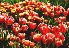 Red tulips field Royalty Free Stock Image