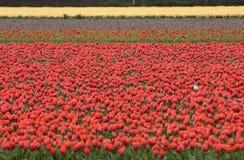 Tulips fields of the Bollenstreek, South Holland, Netherlands. Red Tulips fields of the Bollenstreek, South Holland, Netherlands Royalty Free Stock Photography