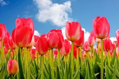 Red tulips in the fields from the Netherlands Stock Photos