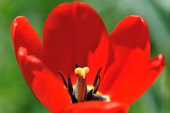 Red tulips on flower bed Stock Photography