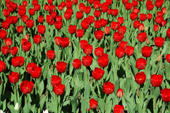 Red tulips on flower bed Royalty Free Stock Images