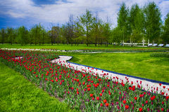 Red tulips. In the flower bed royalty free stock photography