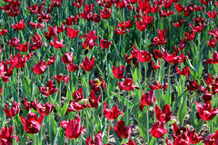 Red tulips on the flower-bed Royalty Free Stock Photos