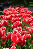 Red tulips on the flower-bed Stock Photos