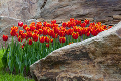 Red tulips in a flower bed of rocks Royalty Free Stock Image