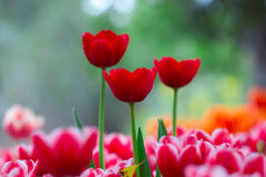 Red tulips flower with bokeh Stock Image