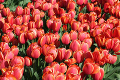 Red tulips in a Flower bulbs field Royalty Free Stock Images