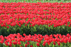 Red tulips in a Flower bulbs field Stock Photo