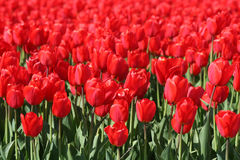 Red tulips in a Flower bulbs field Royalty Free Stock Image