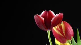 Red Tulips Flower Plant on Black Background. Video stock video footage