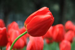 Red tulips flower in zhongshan Park. A pile of red tulips are in full bloom in beijing zhongshan park Stock Images