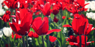 Red tulips on the flowerbed. Aged photo. Macro. Stock Photos