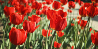 Red tulips on the flowerbed. Aged photo. Macro. Royalty Free Stock Image