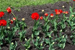Red tulips in the flowerbed royalty free stock photo